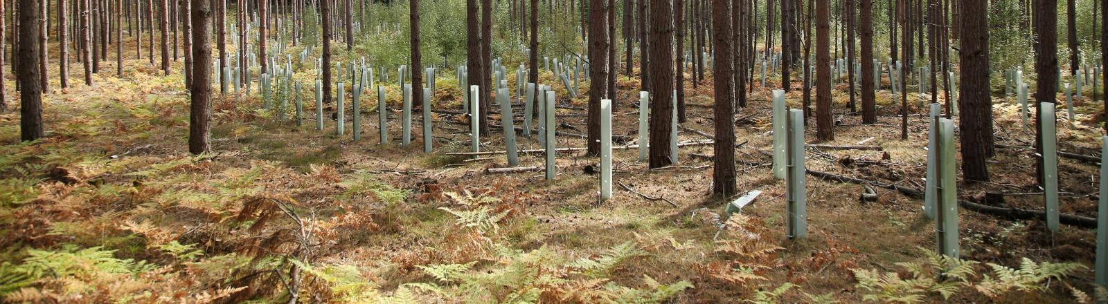 Ein Kiefernwald mit neuen Setzlingen