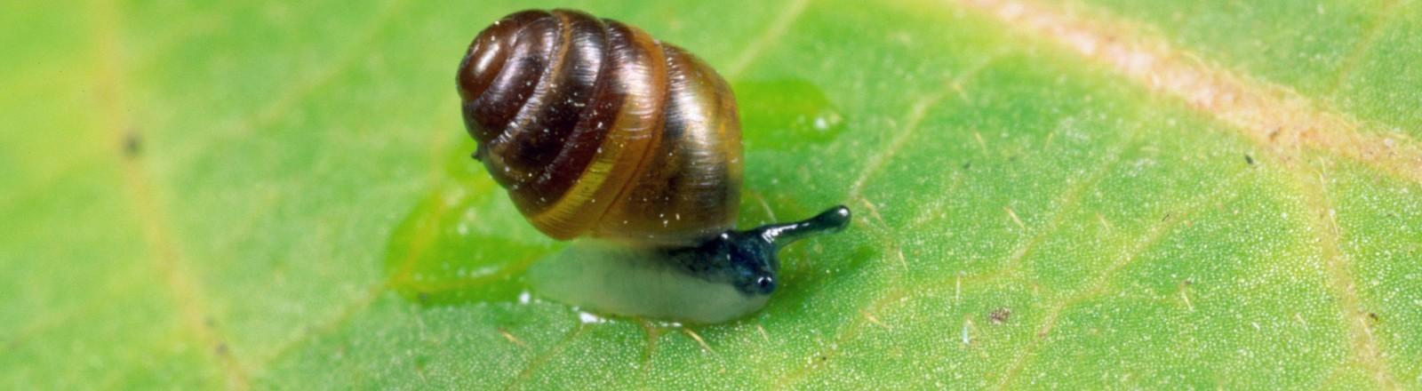 Eine kleine Schnecke auf einem grünen Blatt