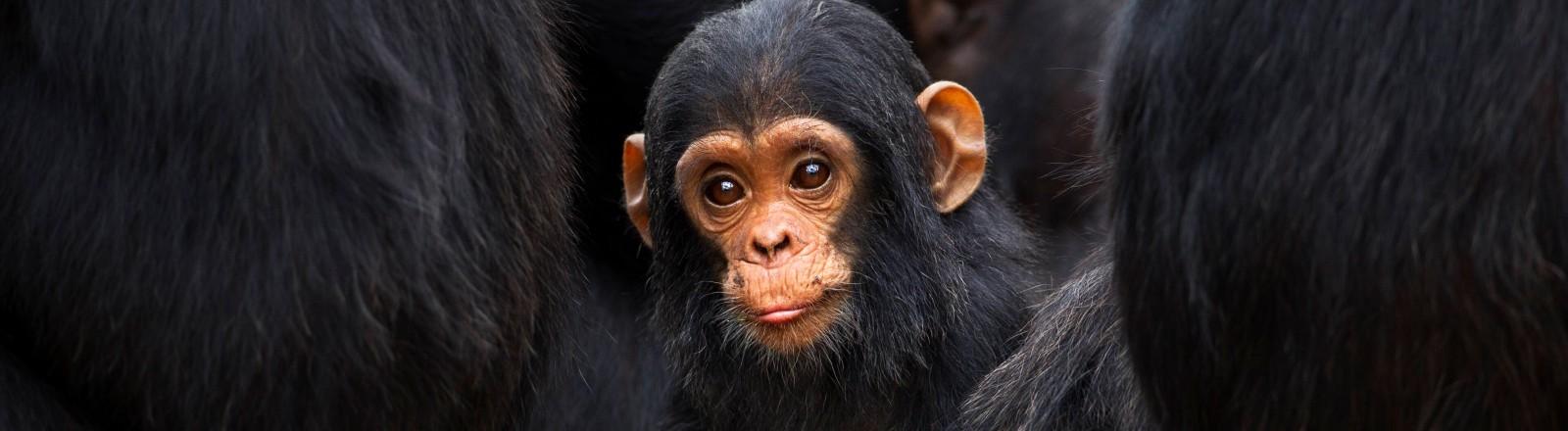 Ein Schimpansenjunges in Tanzania
