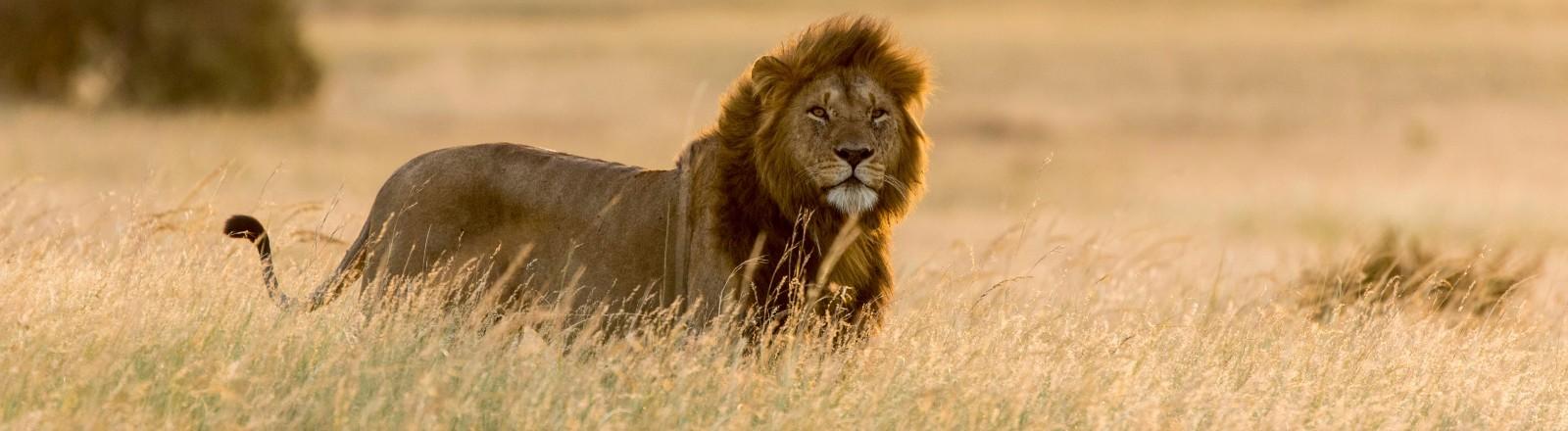 Löwe in Afrika in freier Natur