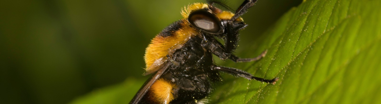 Eine Hummel auf einem Blatt voller Pollen