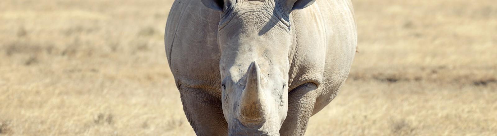 Ein weißes Nashorn in Kenia