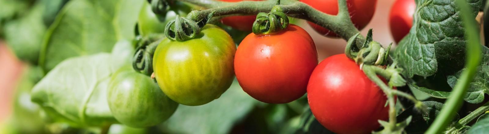 Eine Tomatenstaude mit grünen und roten Tomaten