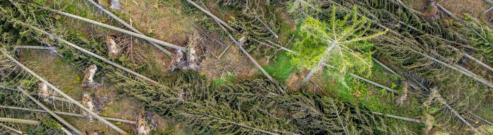 Vogelperspektive auf herausgerissene Bäume nach Sturm