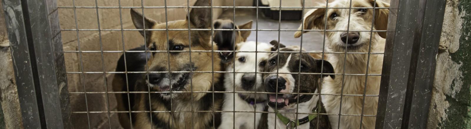 Vier Hunde, die sich in einem Käfig an die Gitterstäbe pressen