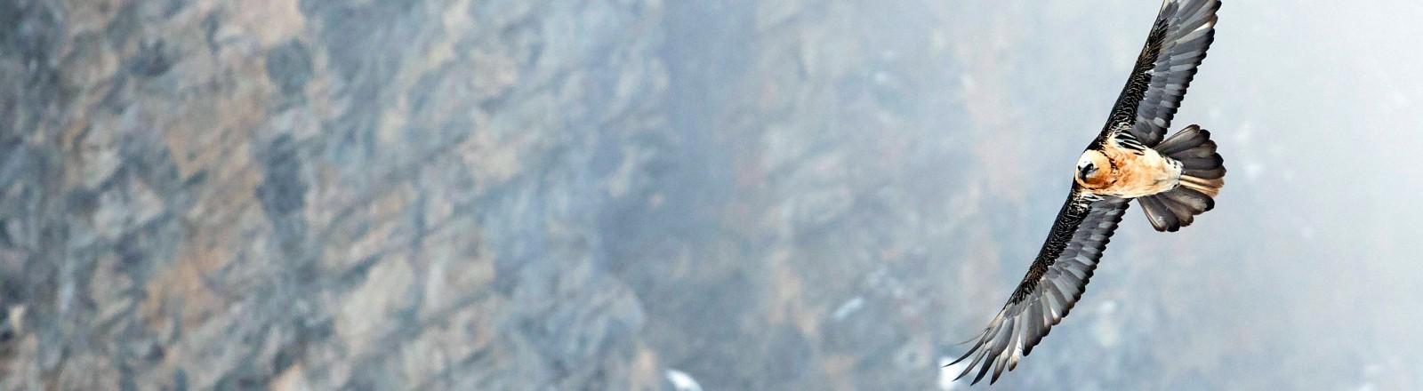 Ein Bartgeier, der durch die Alpen fliegt