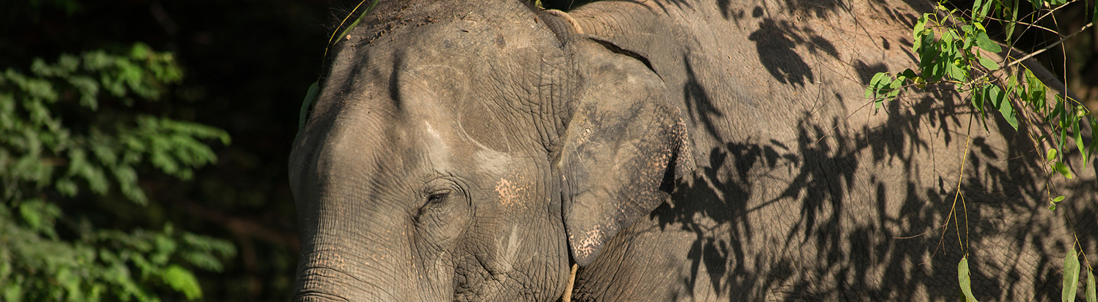 Asiatischer Elefant in Thailand