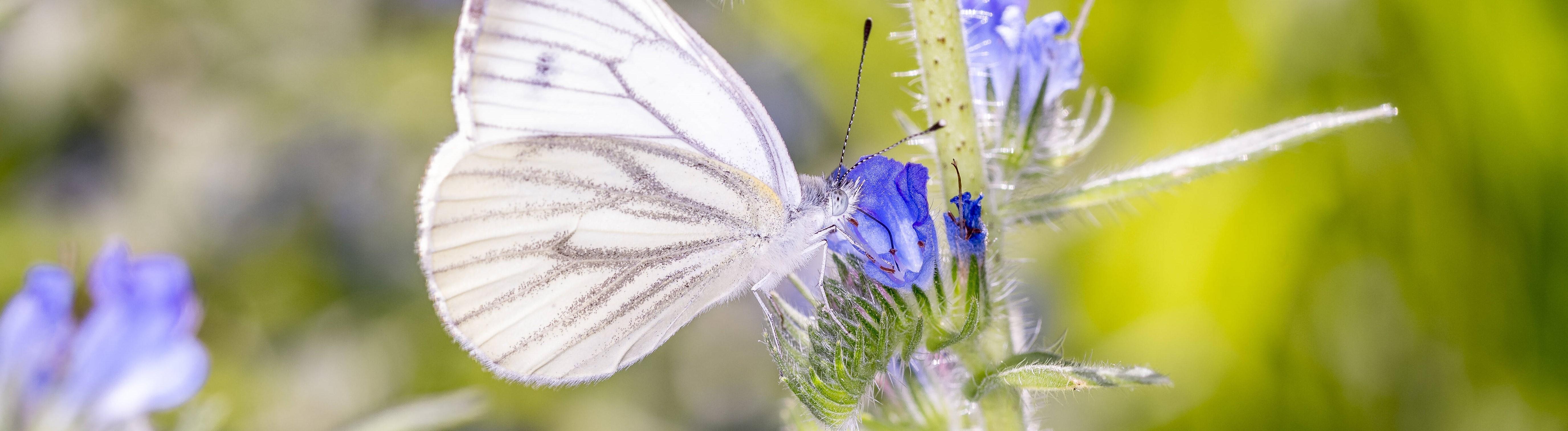 Rapsweißling - Pieris napi - auch Grünader-Weißling oder Hecken-Weißling genannt, auf der Blüte des Gewöhnlichen Natternkopf