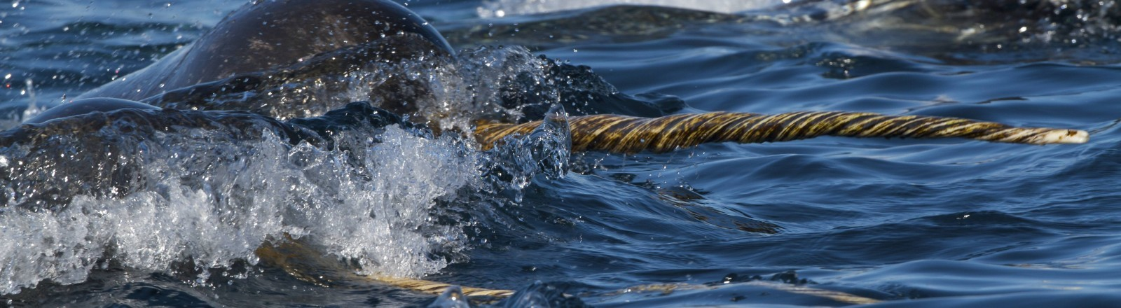 Ein Narwal kommt mit seinem Horn aus dem Wasser