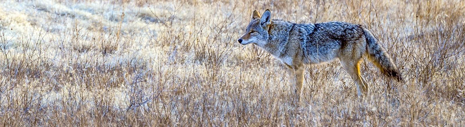Ein Wolf läuft auf einer eingefrorenen Wiese