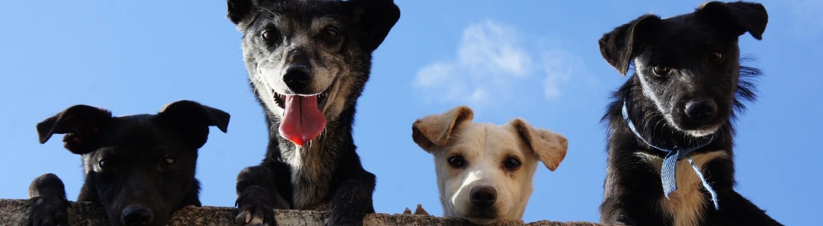 Vier Hunde schauen hinter einer Mauer hervor
