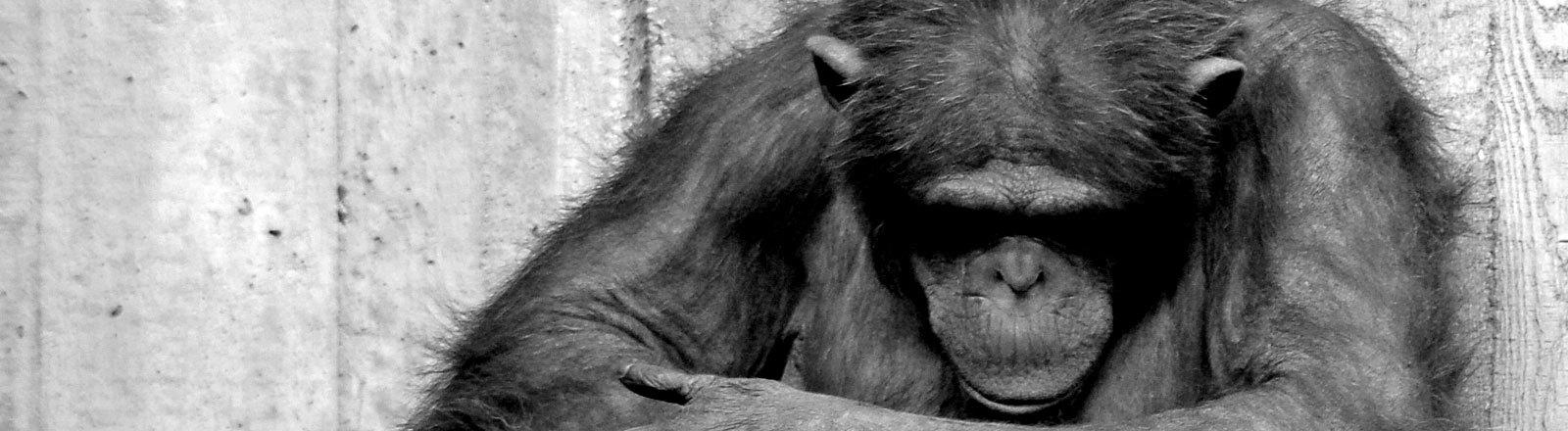 Trauriger Schimpanse